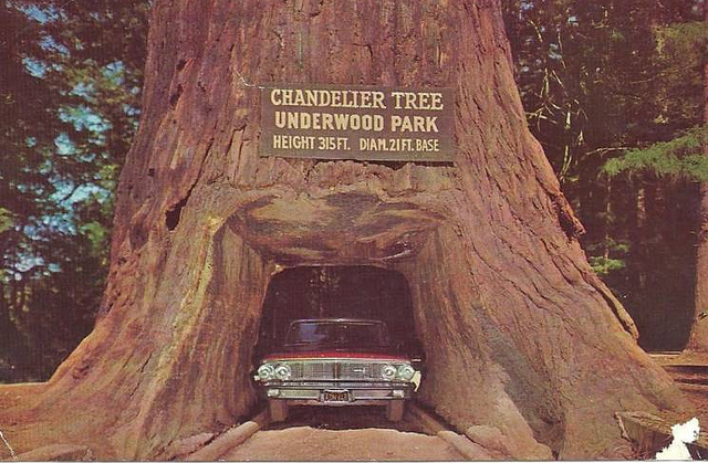 Chandelier Tree в Национальном Парке Секвойя / Sequoia National Park