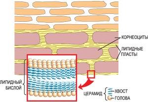 корнеоциты и керамиды (церамиды)