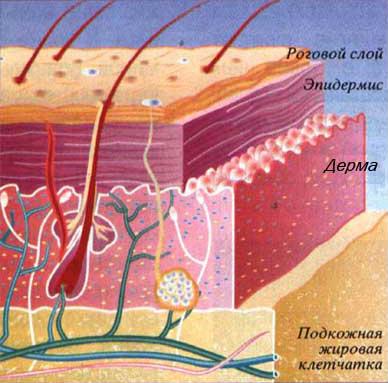 четыре слоя кожи: роговой слой, эпидермис, дерма, гиподерма (подкожная жировая клетчатка)